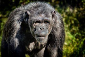 Schimpansen ohne Missgunst