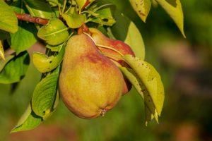 Apple hat was gegen die Birne